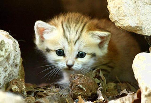 Parque comemora o nascimento de um raro gato-do-deserto 12