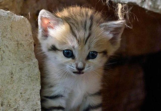 Parque comemora o nascimento de um raro gato-do-deserto 13