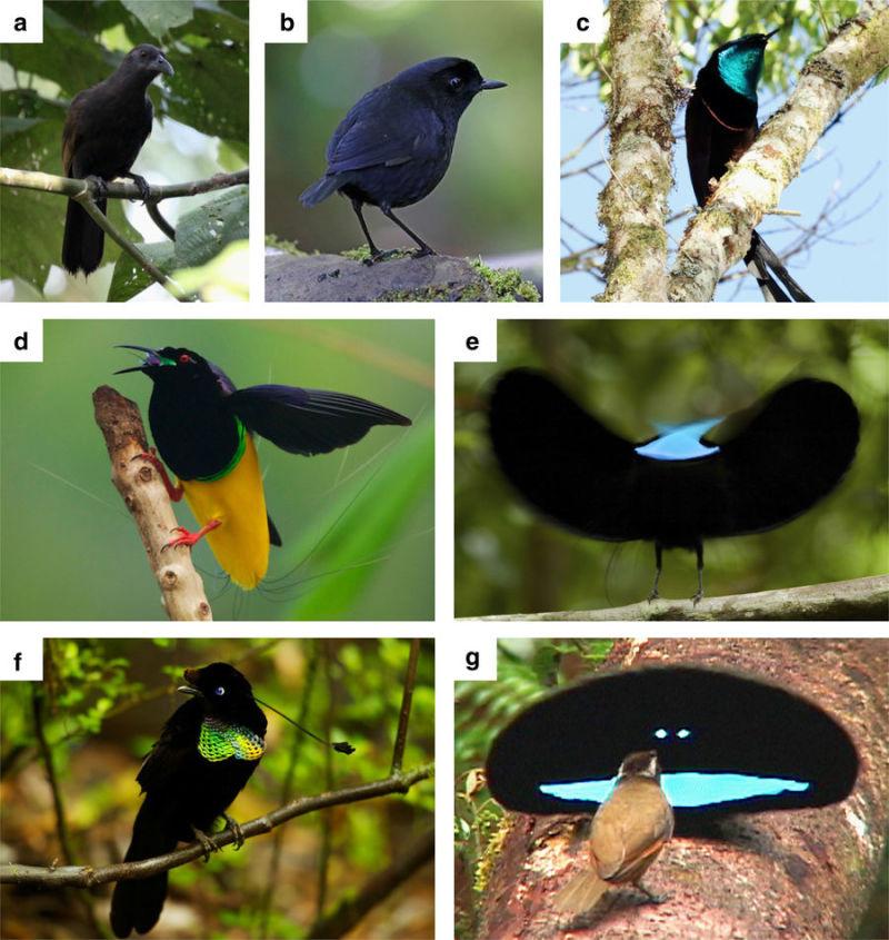 Este pássaro evoluiu com uma plumagem tão escura que pode absorver 99,95% da luz