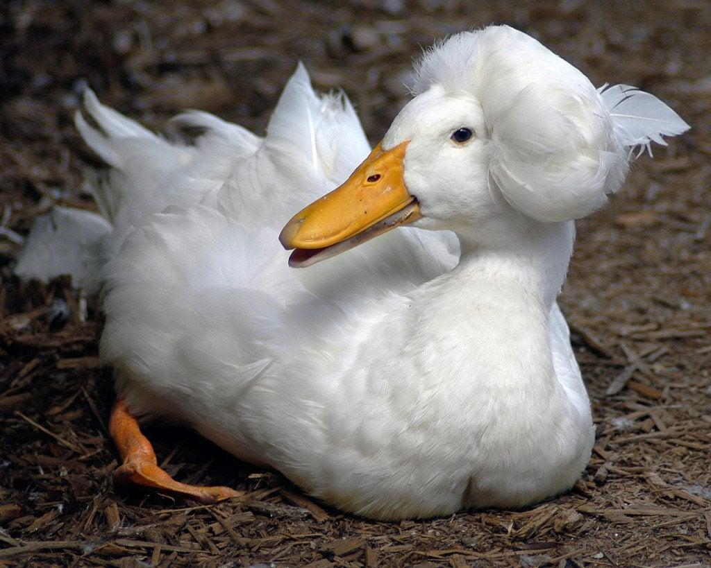 A triste verdade por trás do 'penteado engraçado' dos patos com crista