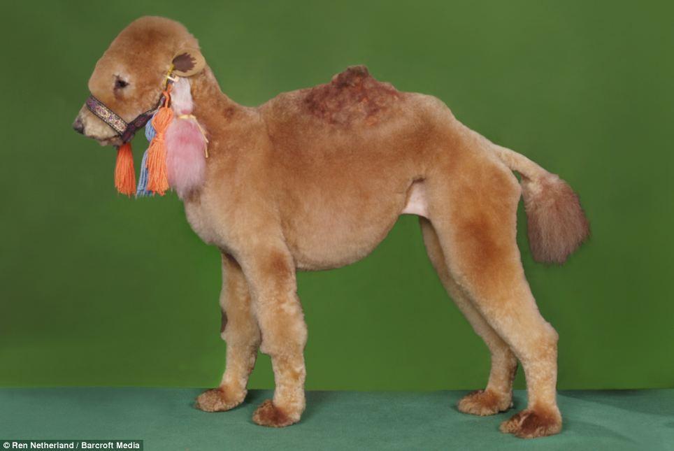 Penteados caninos bizarros 03
