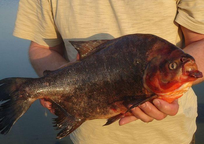 Uma piranha em um lago russo 03