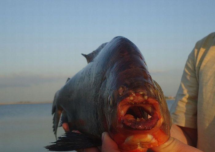 Uma piranha em um lago russo 04
