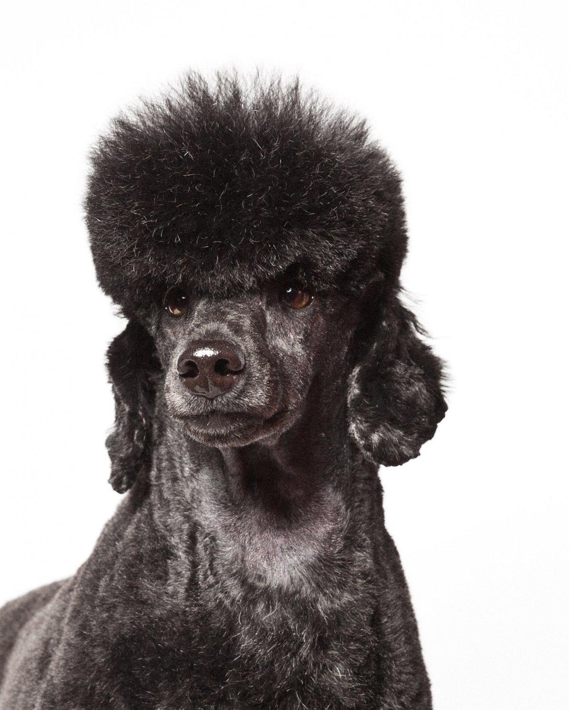 Concurso de moda canina mostra porque os cães mordem gente 05