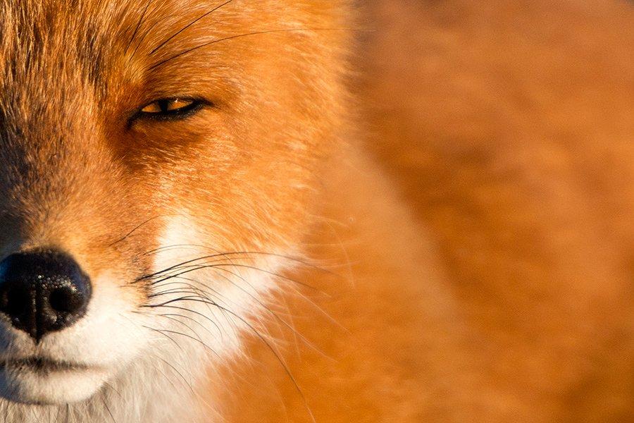 Engenheiro russo passa suas horas de folga tirando fotos de raposas no Círculo Ártico 01