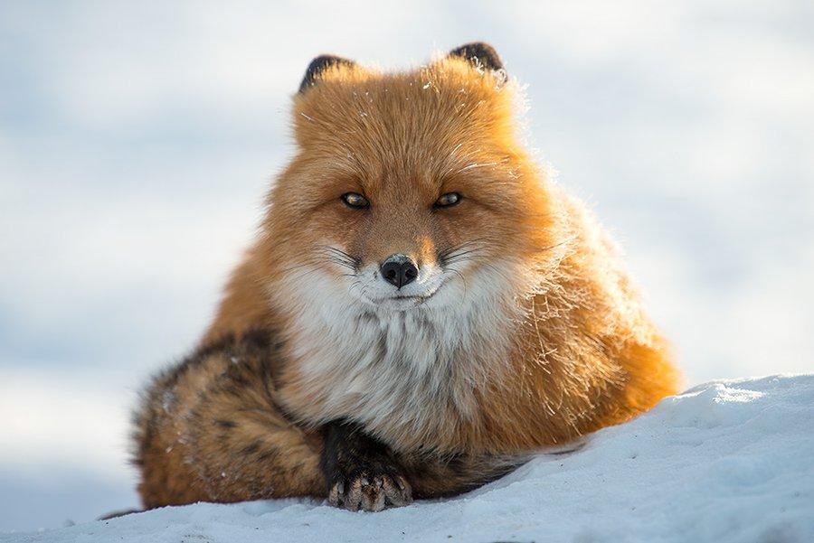 Engenheiro russo passa suas horas de folga tirando fotos de raposas no Círculo Ártico 02
