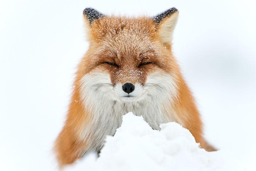 Engenheiro russo passa suas horas de folga tirando fotos de raposas no Círculo Ártico 03