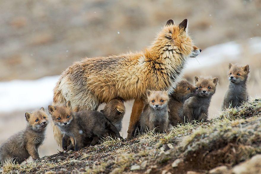 Engenheiro russo passa suas horas de folga tirando fotos de raposas no Círculo Ártico 04