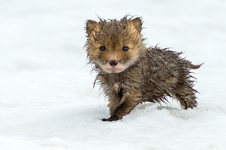 Engenheiro russo passa suas horas de folga tirando fotos de raposas no Círculo Ártico 05