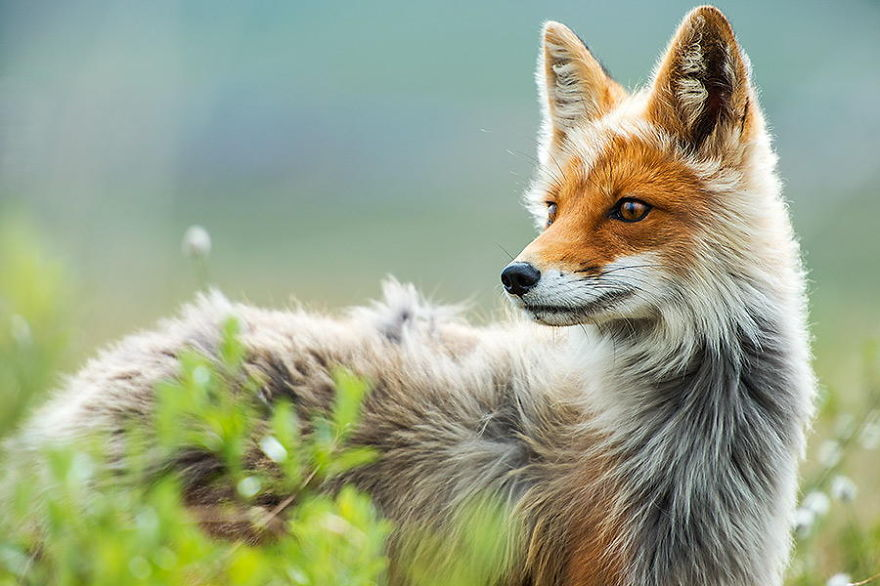 Engenheiro russo passa suas horas de folga tirando fotos de raposas no Círculo Ártico 06