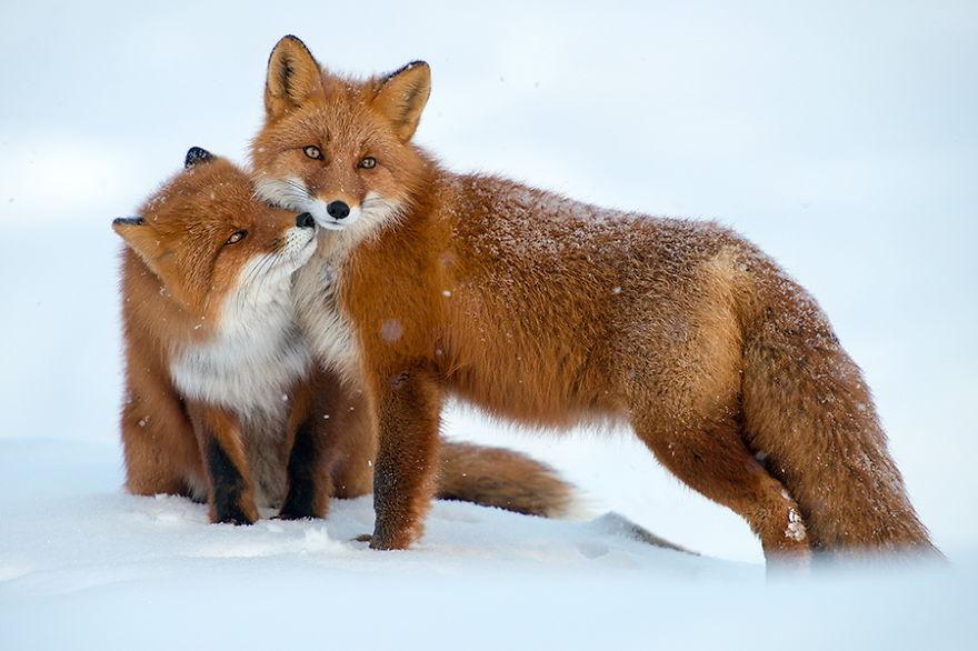 Engenheiro russo passa suas horas de folga tirando fotos de raposas no Círculo Ártico 07