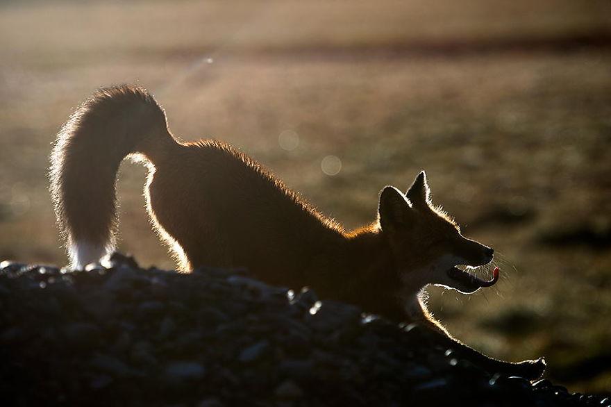Engenheiro russo passa suas horas de folga tirando fotos de raposas no Círculo Ártico 08