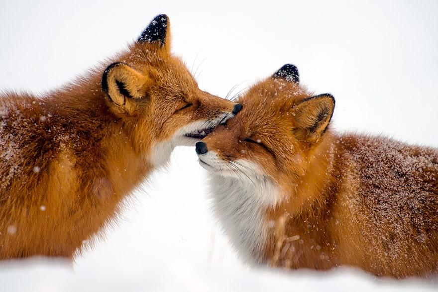 Engenheiro russo passa suas horas de folga tirando fotos de raposas no Círculo Ártico 09