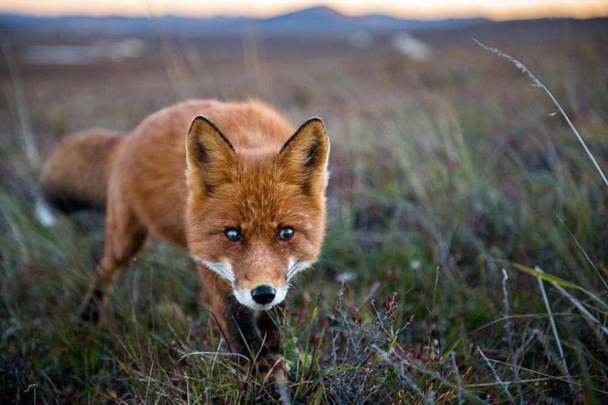Engenheiro russo passa suas horas de folga tirando fotos de raposas no Círculo Ártico 10