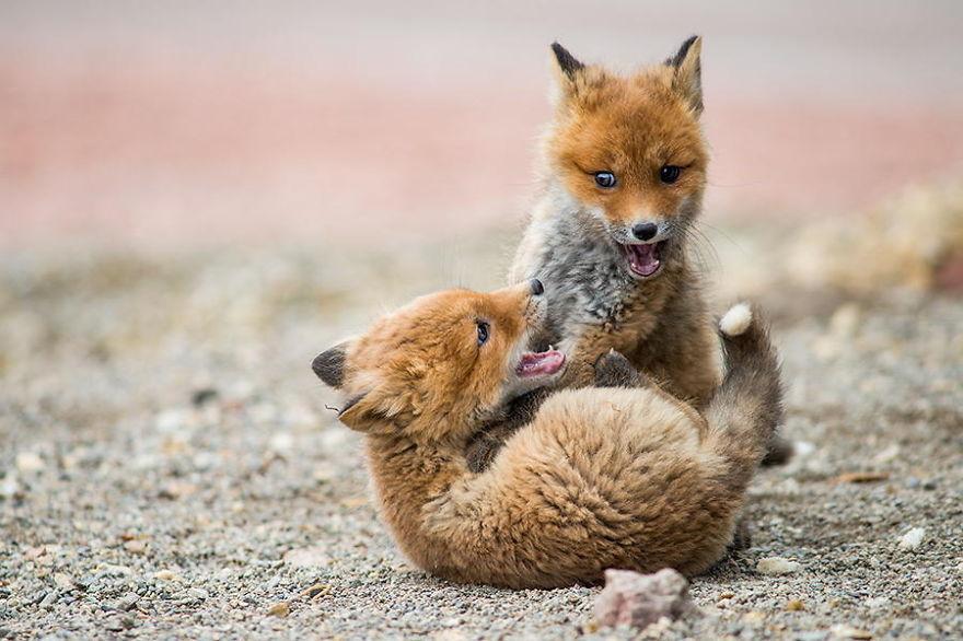 Engenheiro russo passa suas horas de folga tirando fotos de raposas no Círculo Ártico 11
