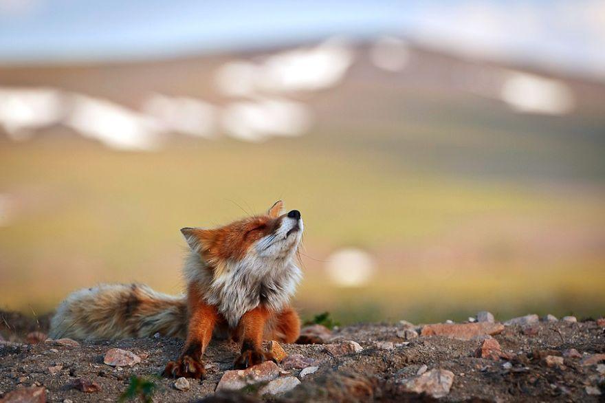 Engenheiro russo passa suas horas de folga tirando fotos de raposas no Círculo Ártico 12