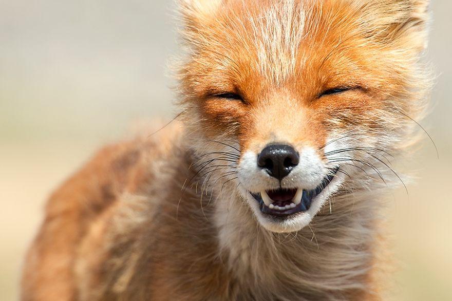 Engenheiro russo passa suas horas de folga tirando fotos de raposas no Círculo Ártico 13