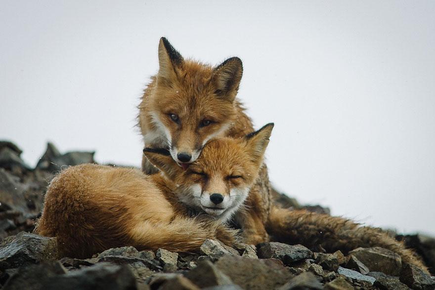 Engenheiro russo passa suas horas de folga tirando fotos de raposas no Círculo Ártico 14