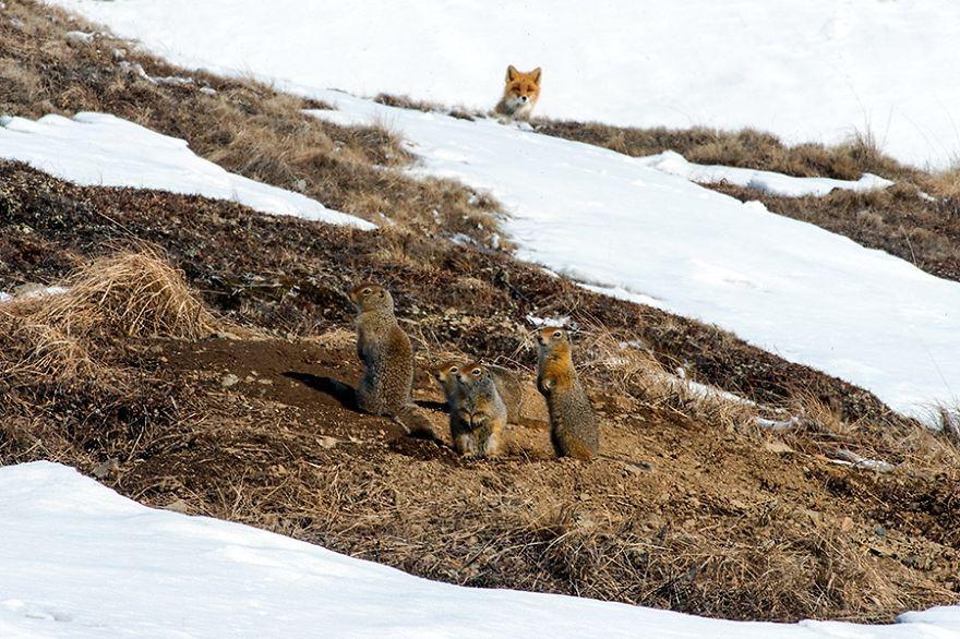 Engenheiro russo passa suas horas de folga tirando fotos de raposas no Círculo Ártico 15