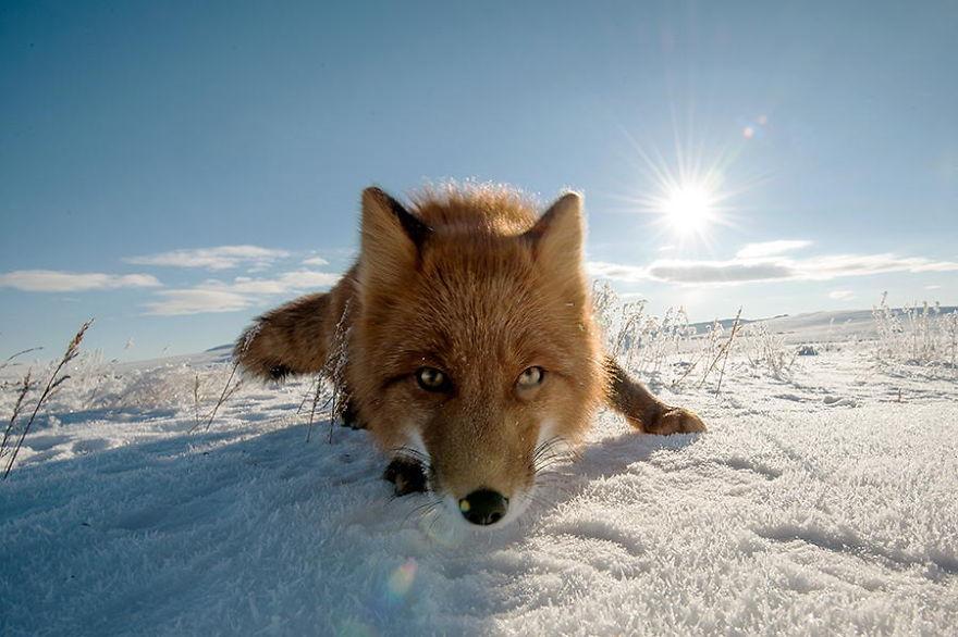 Engenheiro russo passa suas horas de folga tirando fotos de raposas no Círculo Ártico 16