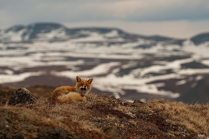 Engenheiro russo passa suas horas de folga tirando fotos de raposas no Círculo Ártico 17