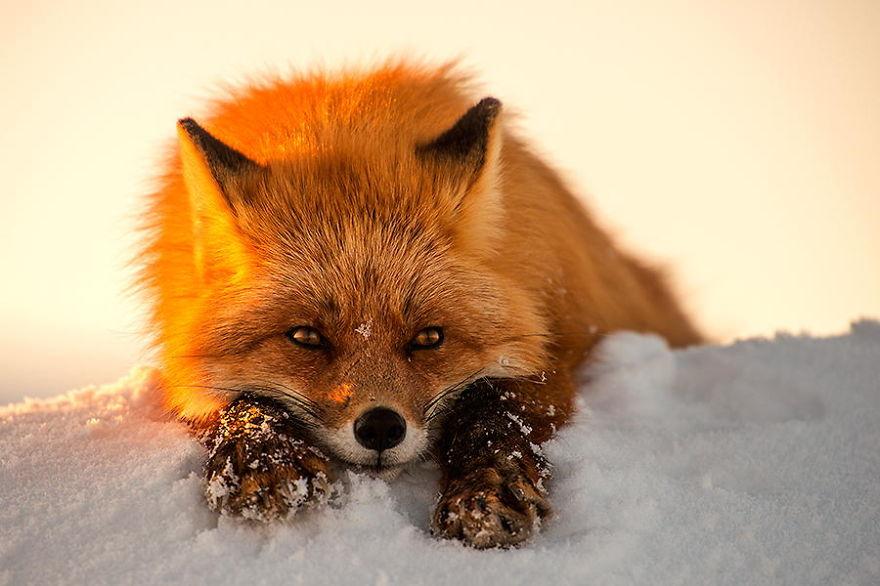 Engenheiro russo passa suas horas de folga tirando fotos de raposas no Círculo Ártico 18