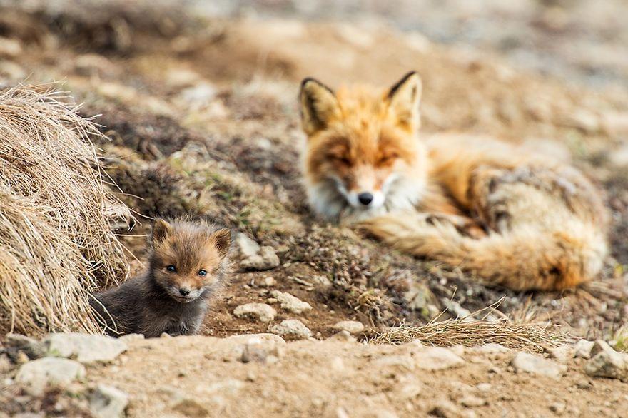 Engenheiro russo passa suas horas de folga tirando fotos de raposas no Círculo Ártico 19