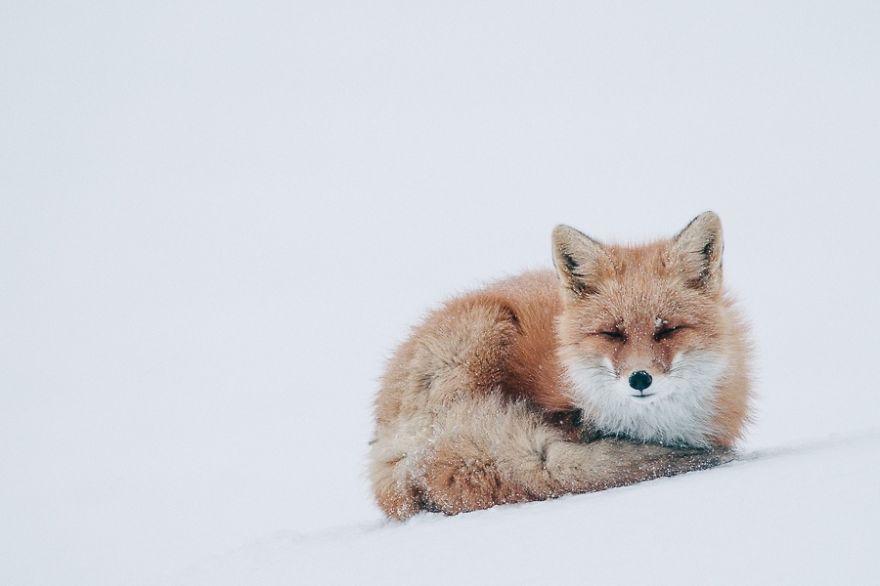 Engenheiro russo passa suas horas de folga tirando fotos de raposas no Círculo Ártico 20