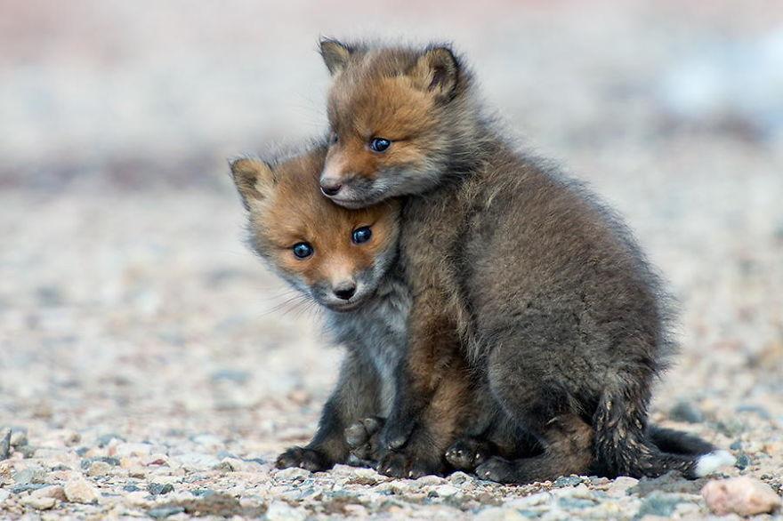 Engenheiro russo passa suas horas de folga tirando fotos de raposas no Círculo Ártico 21