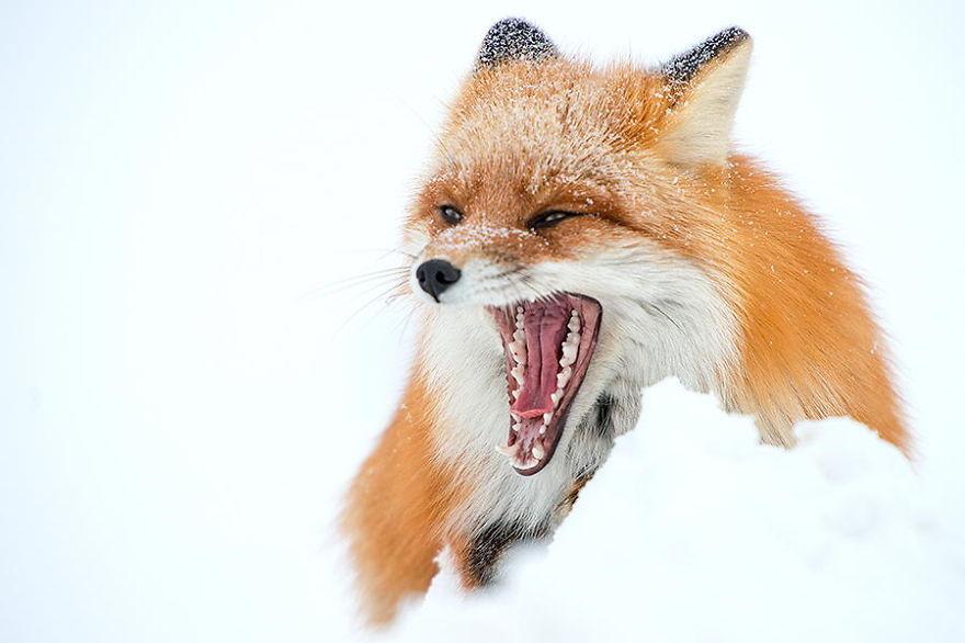 Engenheiro russo passa suas horas de folga tirando fotos de raposas no Círculo Ártico 22