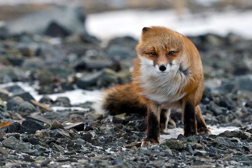 Engenheiro russo passa suas horas de folga tirando fotos de raposas no Círculo Ártico 23