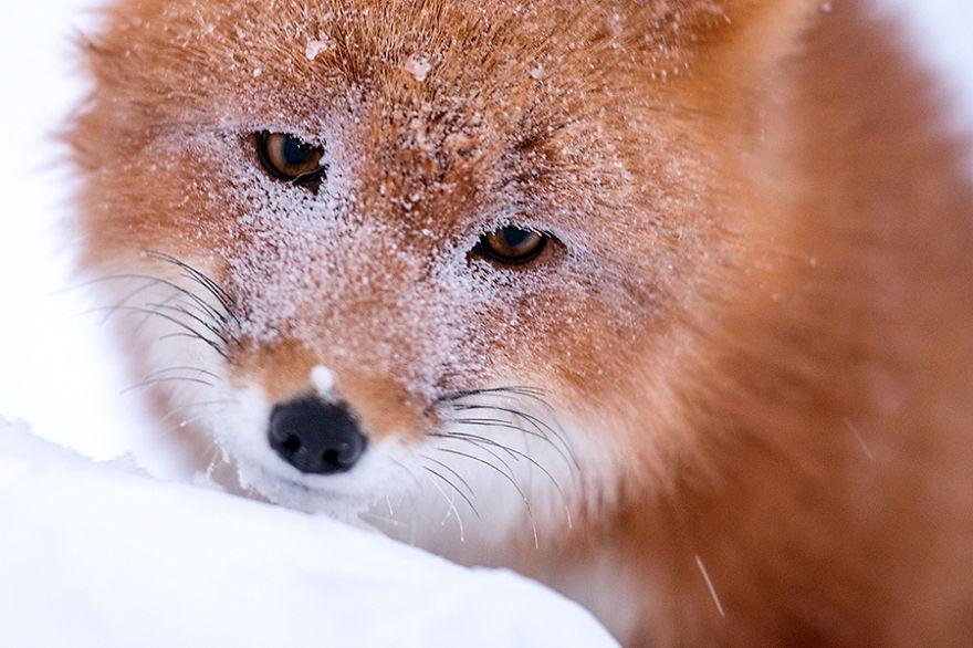 Engenheiro russo passa suas horas de folga tirando fotos de raposas no Círculo Ártico 24