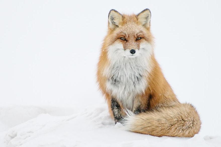 Engenheiro russo passa suas horas de folga tirando fotos de raposas no Círculo Ártico 25