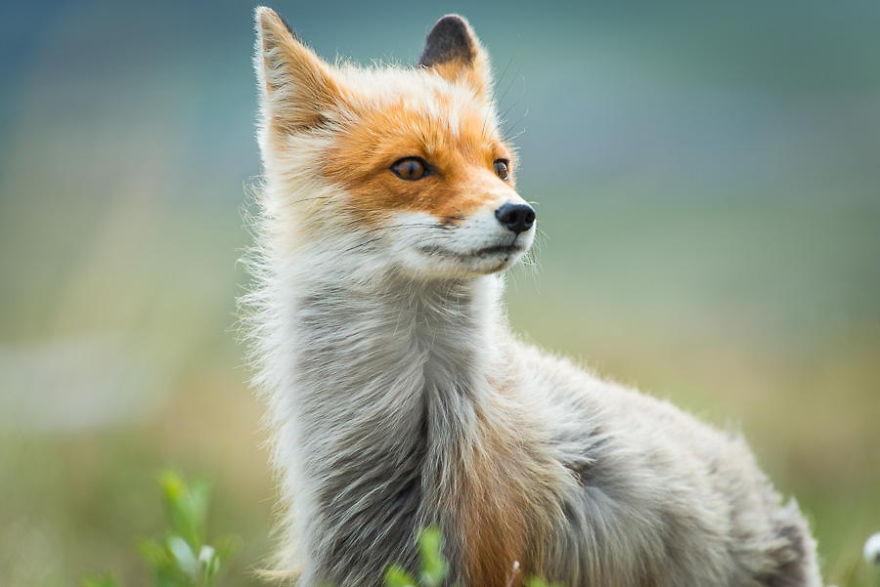Engenheiro russo passa suas horas de folga tirando fotos de raposas no Círculo Ártico 28