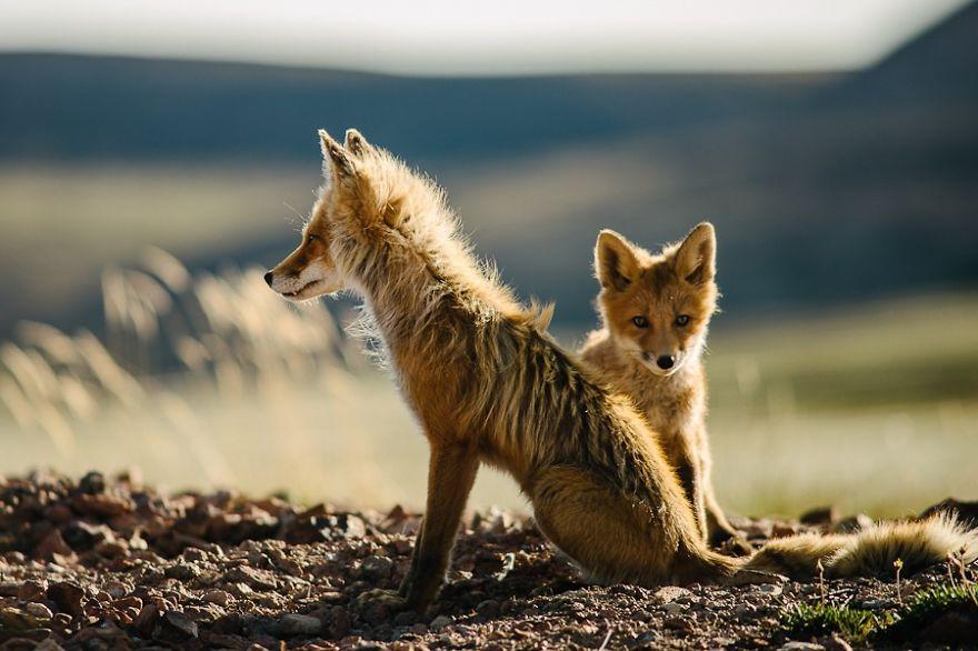 Engenheiro russo passa suas horas de folga tirando fotos de raposas no Círculo Ártico 29