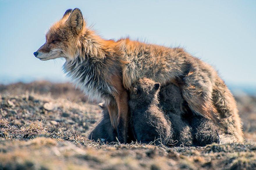 Engenheiro russo passa suas horas de folga tirando fotos de raposas no Círculo Ártico 30