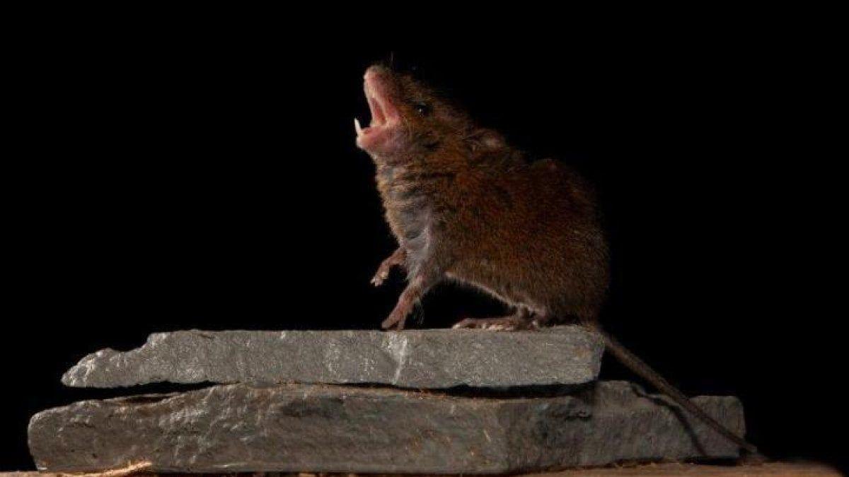 Esses camundongos se envolvem em desafios de canto para conquistar a fêmea