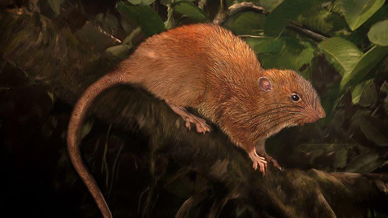 Descobrem uma nova espécie de rato monstruosamente grande oculta na selva das Ilhas Salomão