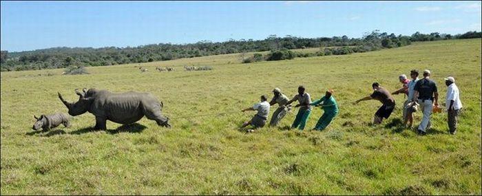 Salvando rinocerontes 01