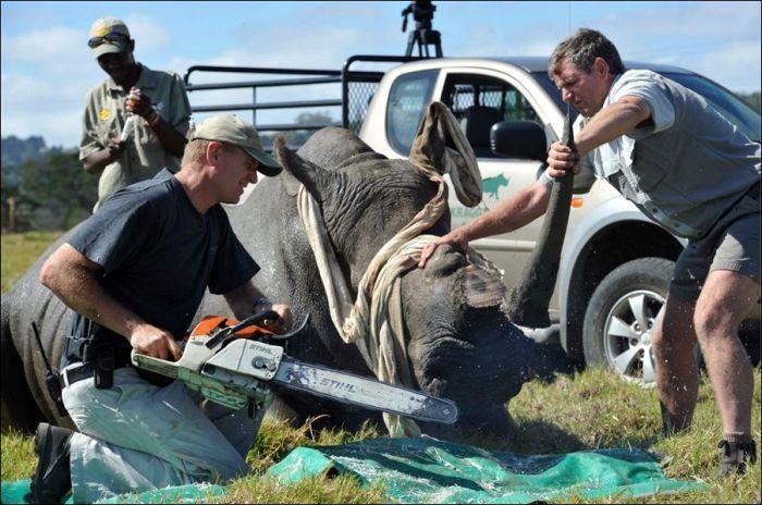 Salvando rinocerontes 03