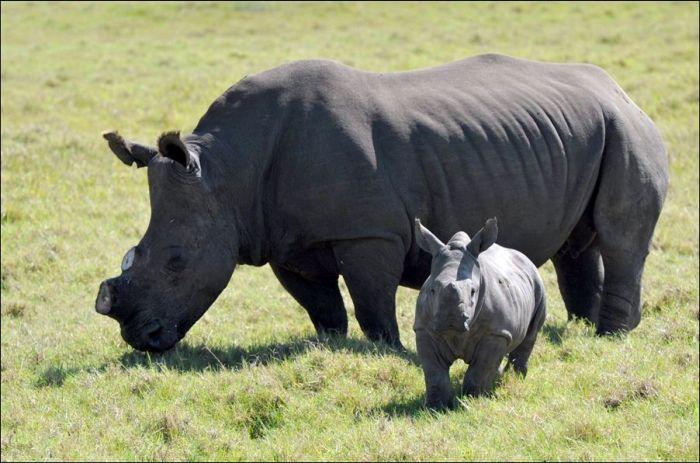 Salvando rinocerontes 04