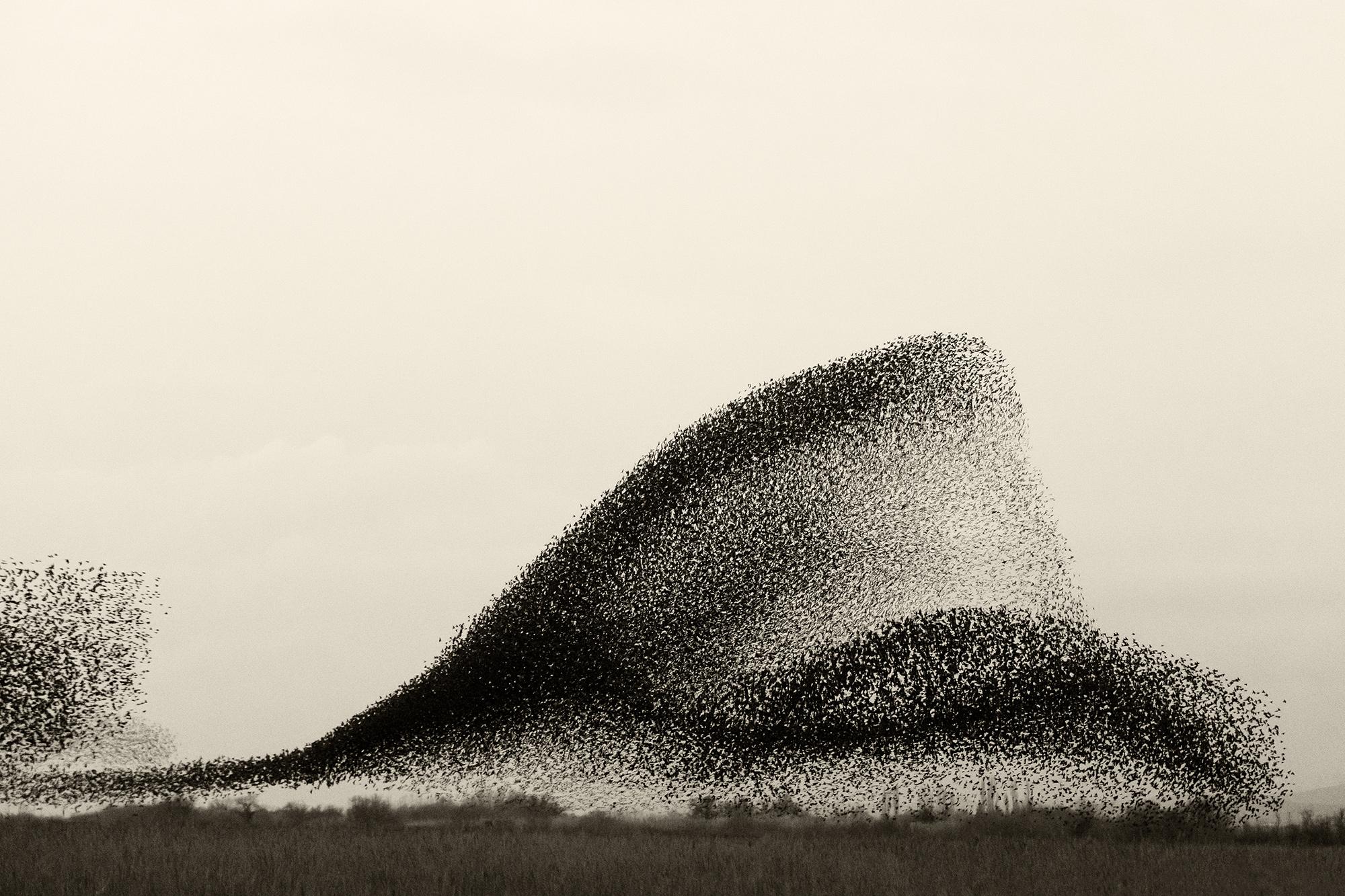 Fotógrafo registra o espetacular fenômeno do voo coordenado de milhares de estorninhos sobre os pântanos dinamarqueses 01