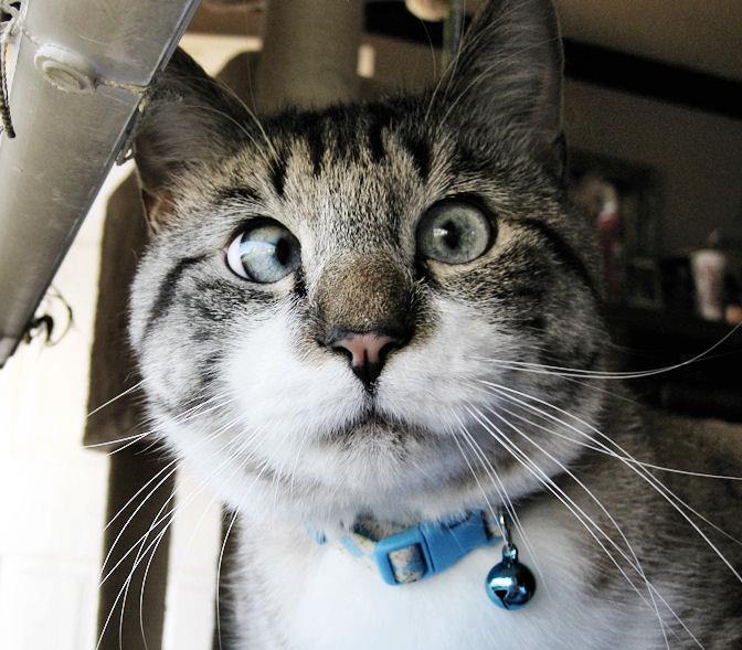 A história do pitbull Patrick e Spangles, o gato vesgo 11