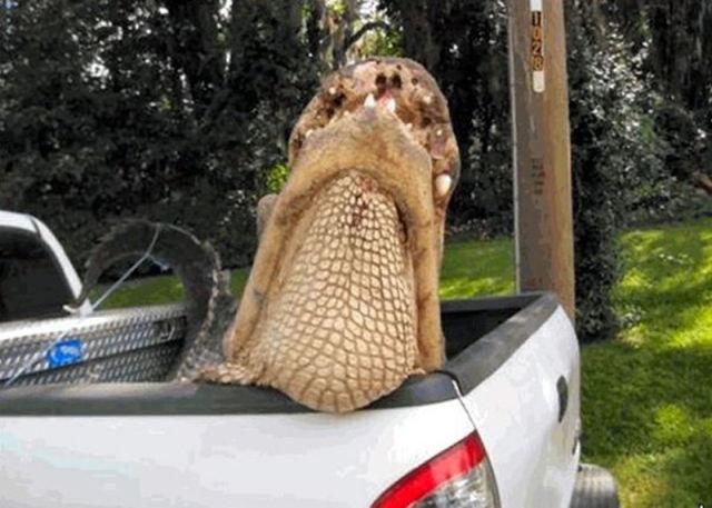 Caçadores arpoam super-crocodilo 07