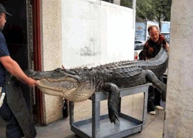 Caçadores arpoam super-crocodilo 08