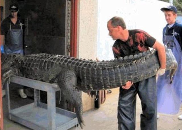 Caçadores arpoam super-crocodilo 09