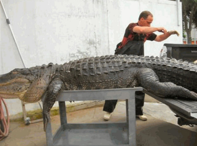 Caçadores arpoam super-crocodilo 12
