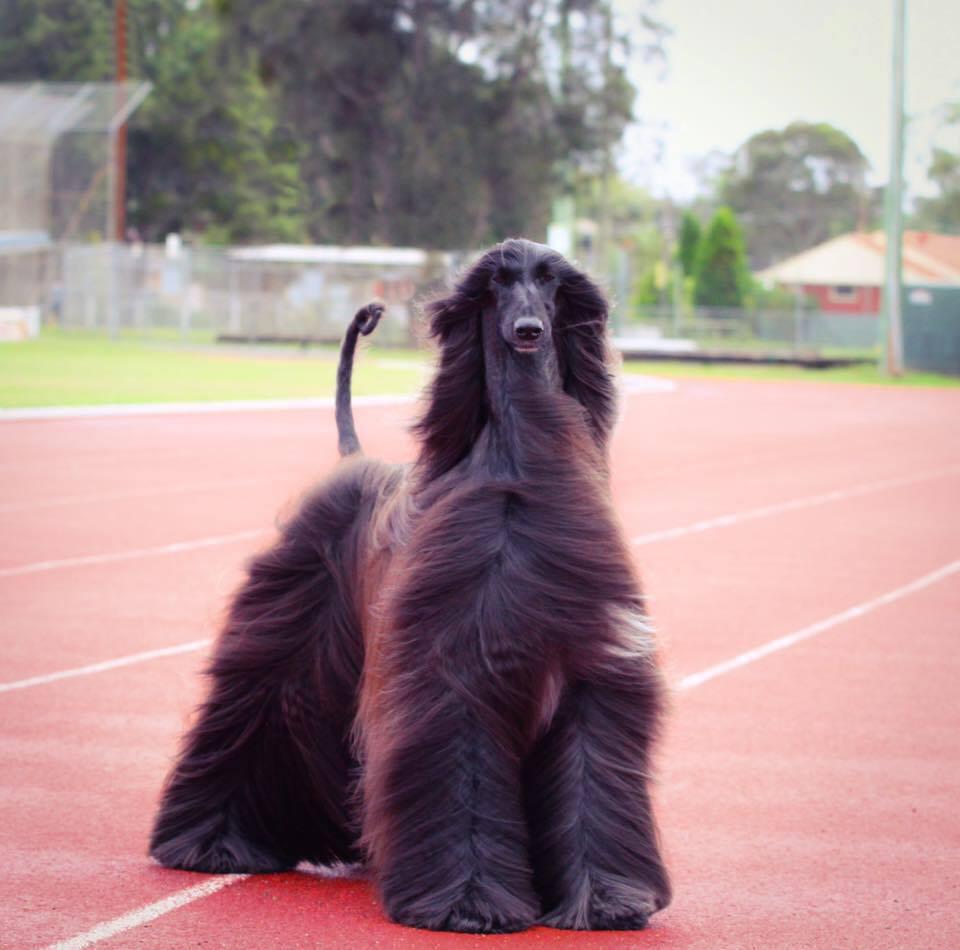 Esta espetacular cadela galgo afegão definitivamente frequenta melhor cabeleireira do que eu