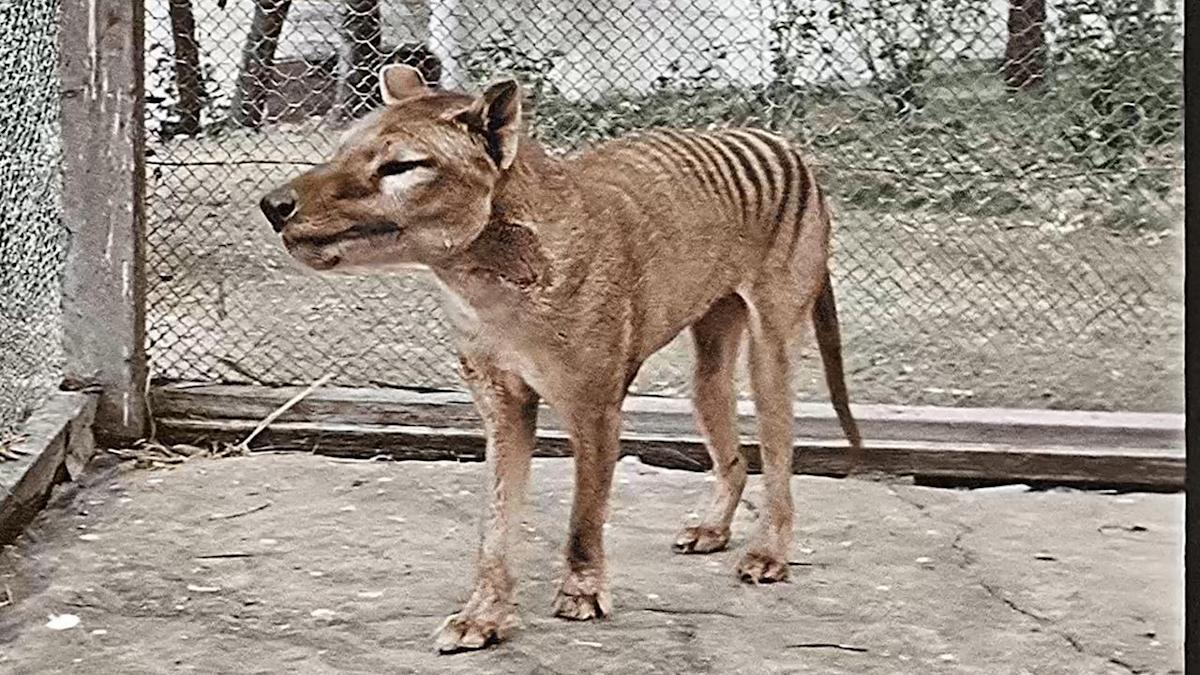 Restauração de video do lobo-da-tasmânia revela como realmente parecia esta espécie extinta