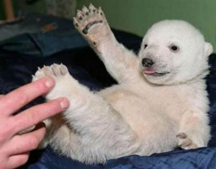A vida e morte de Knut, o urso polar 02